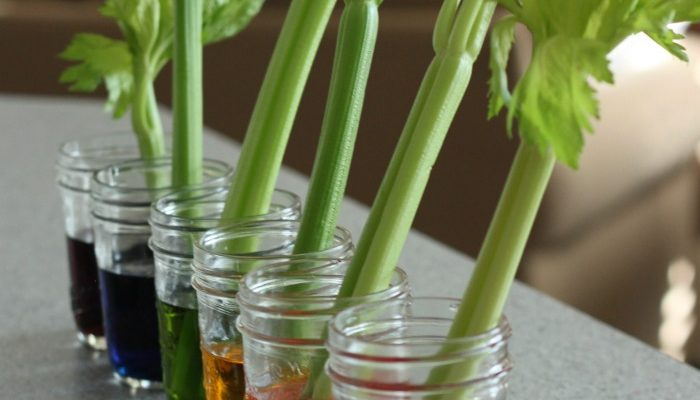 Celery Transpiration Experiment for Kids!